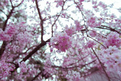 Sakura, Cherry Blossoms. Flowers of the cherry blossoms on a spring day Stock Images