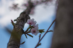Sakura, Cherry Blossoms. Flowers of the cherry blossoms on a spring day Royalty Free Stock Photography