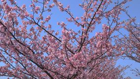 Sakura cherry blossoms in full bloom and blue sky. Cherry blossom video in full bloom taken on a sunny day stock footage