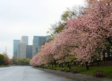 Sakura Cherry blossoms full bloom in Town Stock Photos
