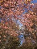 Sakura Cherry Blossoms Stock Photo