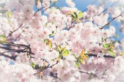 Sakura. Cherry blossoms japan. Pink spring blossom background. Branch of a cherry tree on a blue sky background Stock Images