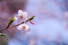 Sakura. Cherry blossoms in Japan.it's so beautiful Stock Photo