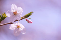 Sakura. Cherry blossoms in Japan.it's so beautiful Royalty Free Stock Image
