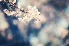 Sakura. Cherry blossoms in Japan.it's so beautiful Stock Image