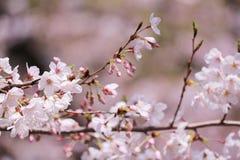 Sakura. Cherry blossoms in Japan.it's so beautiful Stock Images