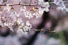 Sakura. Cherry blossoms in Japan.it's so beautiful Stock Photography