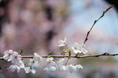 Sakura. Cherry blossoms in Japan.it's so beautiful Royalty Free Stock Images
