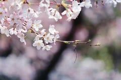 Sakura. Cherry blossoms in Japan.it's so beautiful Stock Photos