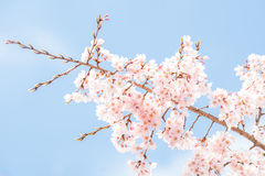 Sakura Cherry blossoms Royalty Free Stock Photography