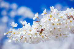 Sakura cherry Blossoms Stock Photos