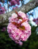 Sakura Cherry blossoms tree in full bloom.  royalty free stock photography