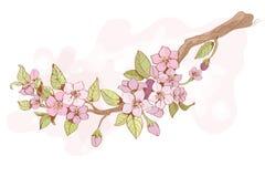 Sakura cherry branch Stock Images