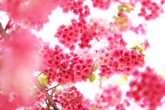 Sakura cherry flower blossom Stock Photo