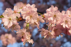 Sakura cherry flower (Prunus serrulata) Royalty Free Stock Image