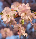 Sakura cherry flower (Prunus serrulata) Royalty Free Stock Photos