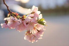 Sakura cherry flower (Prunus serrulata) Stock Photography