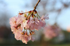 Sakura cherry flower (Prunus serrulata) Royalty Free Stock Images
