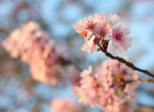Sakura cherry flower (Prunus serrulata) Stock Images