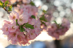 Sakura cherry flower (Prunus serrulata) Stock Photo