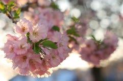 Sakura cherry flower (Prunus serrulata) Stock Photo