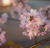 Sakura cherry flower (Prunus serrulata) Stock Image