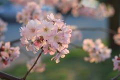 Sakura cherry flower (Prunus serrulata) Royalty Free Stock Photo