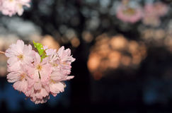 Sakura cherry flower (Prunus serrulata) Royalty Free Stock Image