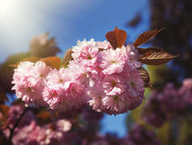 Sakura cherry flower Stock Photography