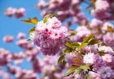 Sakura cherry flower Royalty Free Stock Photo