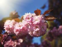 Sakura cherry flower Stock Images