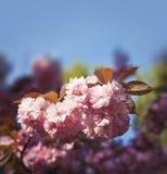 Sakura cherry flower Stock Photo