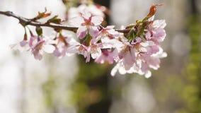 Sakura cherry flowers in bloom stock footage