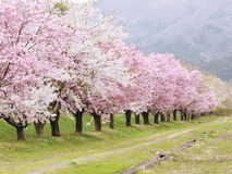 Sakura cherry tree background Stock Photos