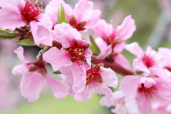 Sakura cherry tree background Stock Image