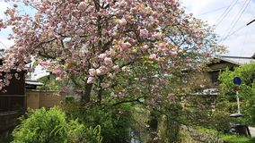 Philosopher`s Sakura Tree. Sakura cherry tree in bloom in Philosopher`s walk, or Tetsugaku-no-Michi, the famous pedestrian cherry-tree-lined path in Kyoto stock video