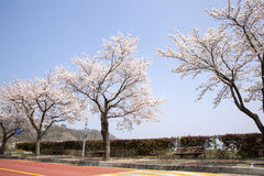 Sakura or cherry tree. Blossom with clear blue sky Stock Photo