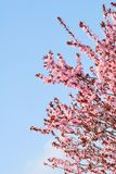 Sakura cherry tree with blossoms and blue sky Royalty Free Stock Photo