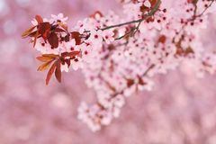 Sakura cherry tree blossoms Royalty Free Stock Photo