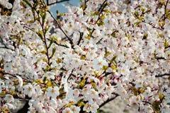 Sakura cherry trees Royalty Free Stock Photography
