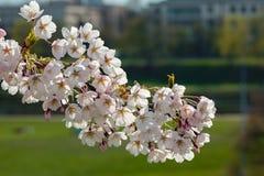 Sakura cherry trees Royalty Free Stock Photos