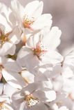 Sakura cherry trees in full blooming- closeup on flowers Royalty Free Stock Photos