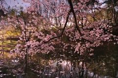 Sakura Chery Blossom Stock Afbeeldingen
