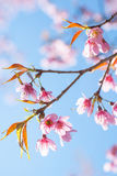 Sakura Chiangmai, Tailandia fotos de archivo