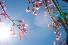 Sakura Chiangmai, Thailand. Beautiful Sakuras at Chiangmai, Thailand royalty free stock photography
