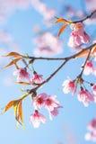 Sakura Chiangmai, Thailand. Beautiful sakuras at Chiangmai, Thailand stock photos