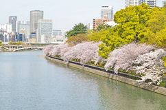 Sakura in The City Royalty Free Stock Images