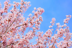 Sakura. With clear blue sky Royalty Free Stock Photography