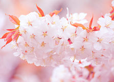 Sakura close up Royalty Free Stock Photography