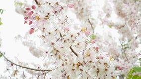 Sakura Color Chan in Thailand. Pink flower, Cassia Bakeriana, Sakura Color Chan in Thailand stock photography